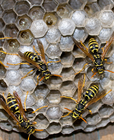 nest of wasps